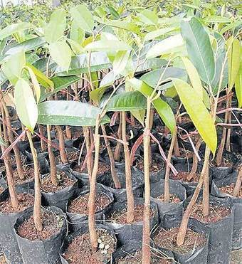 Fruits of their labour | Bangkok Post: business | forest gardening | Scoop.it