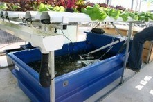 The role of aquaponics in food production: prepping for a sustainable future - Blue and Green Tomorrow | Agriculture, Climate & Food security | Scoop.it