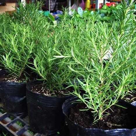 Cách trồng cây hương thảo cho mùi hương nhẹ | tamdeptrai | Scoop.it