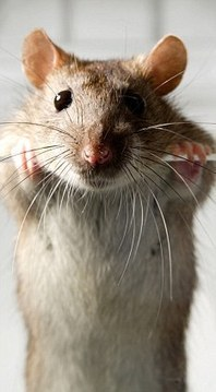 Rats have been wrongly maligned and are actually kind hearted, generous creatures   Empathy and Animals   Scoop.it