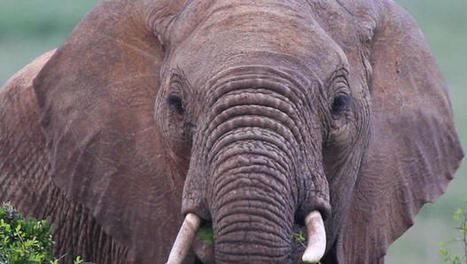 Elephants can tell one language from another - CBS News   Linguistics   Scoop.it