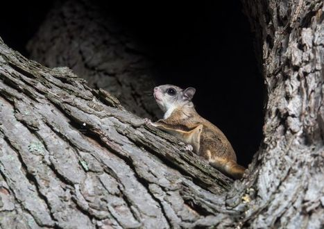 A few interesting facts about flying squirrels | Oceans and Wildlife | Scoop.it