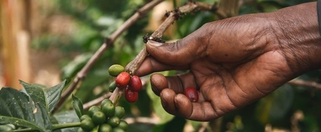 A brewing storm: The climate change risks to coffee | Fair and Sustainable Trade | Scoop.it