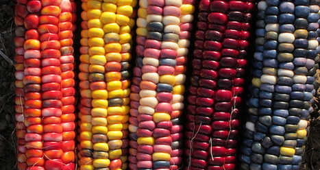 59 Indigenous Corn Varieties at Risk as Monsanto Eyes Mexico   Sustainability: Permaculture, Organic Gardening & Farming, Homesteading, Tools & Implements   Scoop.it