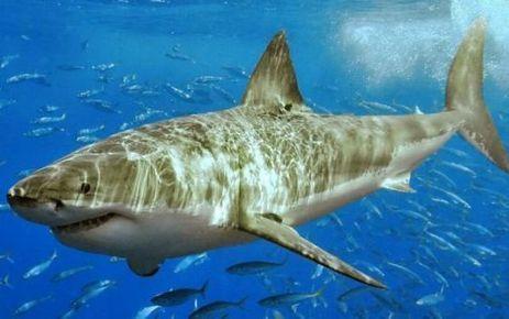 Requins : quatre nouvelles espèces protégées - en images | Sauvegarde et Protection des animaux | Scoop.it