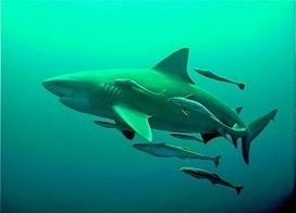 Le comportement des requins et ses dangers. Interview de Bernard Seret, Requinologue de l'IRD | Dans mes bulles... | Scoop.it