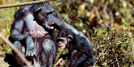 For the First Time Ever, Scientists Observed Chimpanzees Caring For a Disabled Infant   Empathy and Animals   Scoop.it