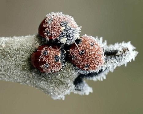 Pourquoi les coléoptères ne gèlent pas en hiver ? | EntomoNews | Scoop.it