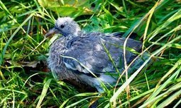 No hiding place for a stranded squab | Nature Flash | Scoop.it