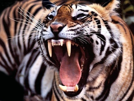 Angry Tiger Wallpaper Free Hd Images Wa