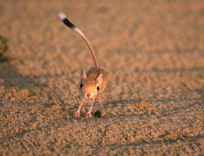 La gerboise du désert - Ecologie.ma | Les déserts dans le monde | Scoop.it