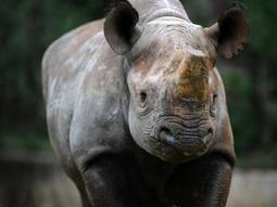 Rhino killed in N West | Rhino poaching | Scoop.it