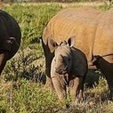 Are These Injured Rhino Being Exploited?   Nikela: Funding Wildlife Conservation & Education to Save Wildlife in Africa   What's Happening to Africa's Rhino?   Scoop.it