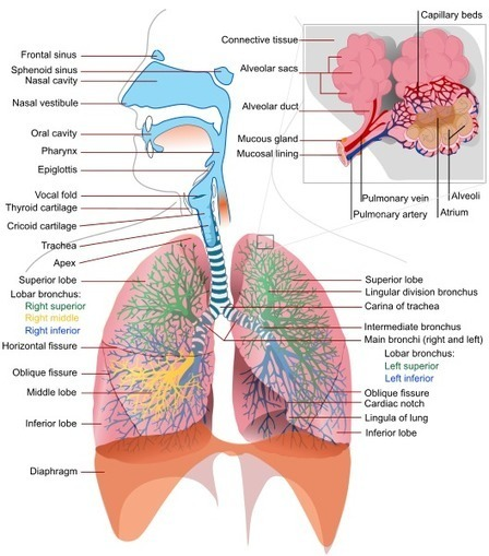 How does the Respiratory System Work? | Anatomy | Scoop.it