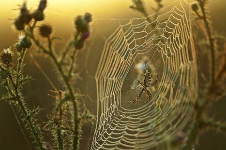 Des toiles d'araignée pour protéger les plantes cultivées | EntomoNews | Scoop.it