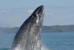 UnderwaterTimes.com | Study Finds Southern Indian Ocean Humpbacks Singing Different Tunes | Indigo Scuba | Scoop.it