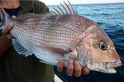 Snapper limits kick in - Auckland stuff.co.nz | Marine Conservation | Scoop.it