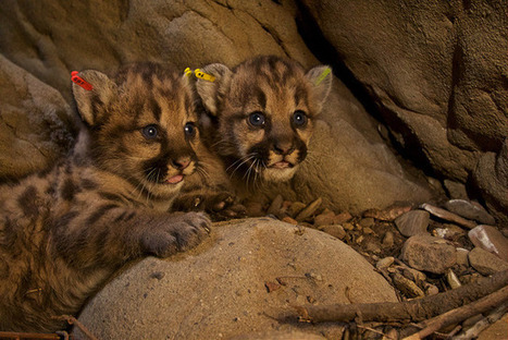 7-Month-Old Mountain Lion Killed On Same Freeway As His Mother | Coastal Restoration | Scoop.it