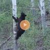 les ours brun