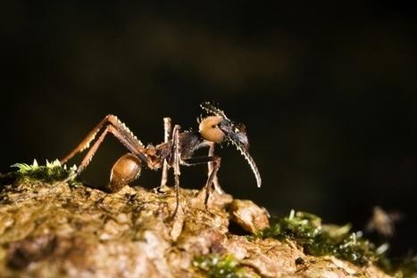 Ant genomes rewrite history of the Panama land bridge | Amazing Science | Scoop.it