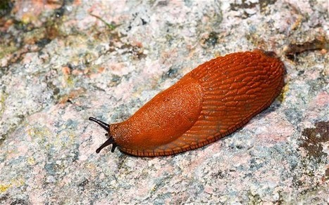 Thorny problems: what should I do about the invasion of the spanish slug? | Gardening | Scoop.it