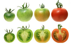 Breeding Tomatoes that Look Pretty Sacrifices Their Sweetness | Science and life | Scoop.it
