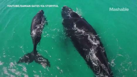 Un drone immortalise une baleine et son petit au large de l'Australie | Drone | Scoop.it