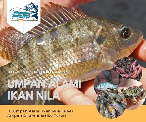 10 Umpan Alami Ikan Nila Super Ampuh Mantap