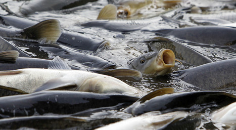 Australia to spend over $11mn to eradicate carps by releasing herpes virus into rivers | Twisted Microbiology | Scoop.it