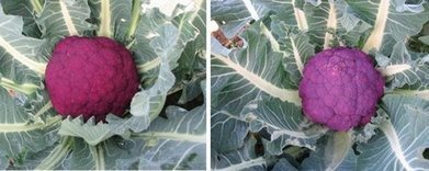 Le Marche, Italy: Research develops new cauliflower varieties   Le Marche another Italy   Scoop.it