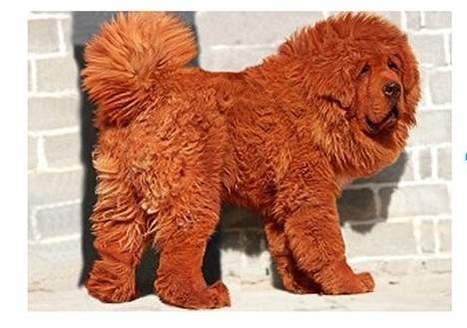 Et voici le chien le plus cher du monde   Mais n'importe quoi !   Scoop.it