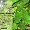 Medicinal property, phytochemistry and pharmacology of several Jatropha species (Euphorbiaceae): A review