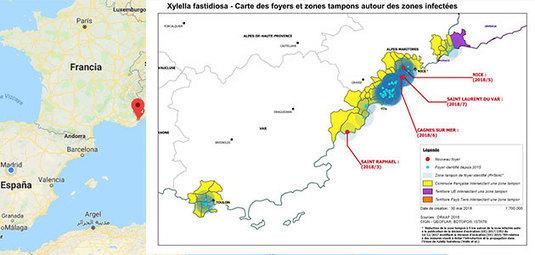 La Xylella fastidiosa sigue golpeando en Francia