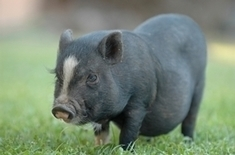"""Gene-Edited """"Micropigs"""" to Be Sold as Pets - Scientific American 