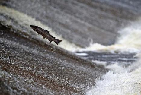 Wild fish at risk from salmon farms | Discover Wildlife | Oceans and Wildlife | Scoop.it