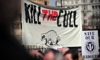 Ministers were warned of badger cull risks, documents show | Leading for Nature | Scoop.it