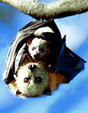 Fur is Flying – Bay Area Bats* in peril - KQED QUEST (blog) | Bat Biology and Ecology | Scoop.it
