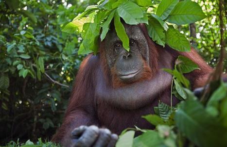 Prostitution d'orangs-outans en Asie   694028   Scoop.it