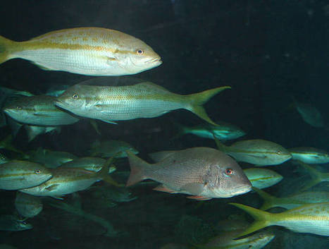 U.S. Becomes First Country to Impose Catch Limits for All Fish   OUR OCEANS NEED US   Scoop.it