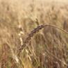 Organic & Alternate grains
