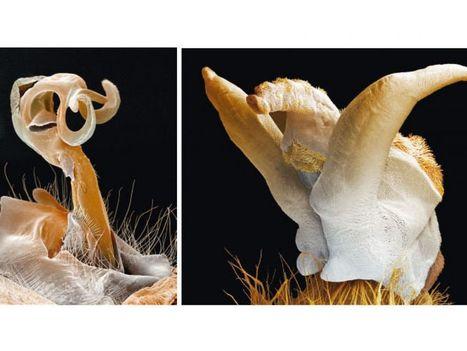 Sexe et anatomie : les infinies variations de l'organe mâle | EntomoScience | Scoop.it