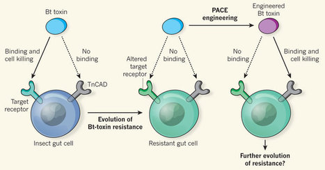 Bioengineering: Evolved to overcome Bt-toxin resistance | NetBiology | Scoop.it
