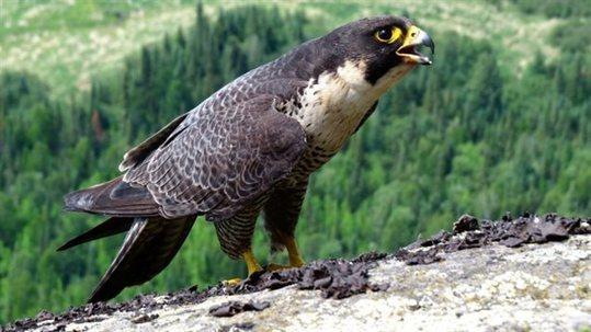Le faucon pèlerin n'est plus une espèce menacée au Canada