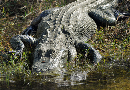 There'shope for theGlades | KeysNews.com | The Everglades Puzzle | Scoop.it