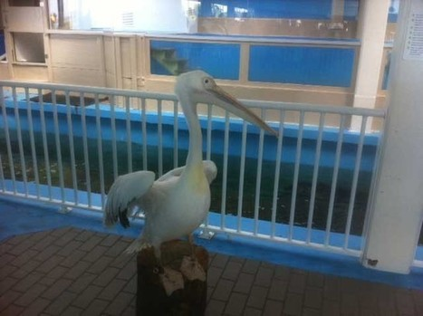 Pelican stars of 'Dolphin Tale' to make their home at Clearwater Marine Aquarium   Ocean Conservation   Scoop.it