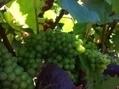 Vignes: le Certiphyto bientôt obligatoire - France Bleu | Pesticides et biocides | Scoop.it