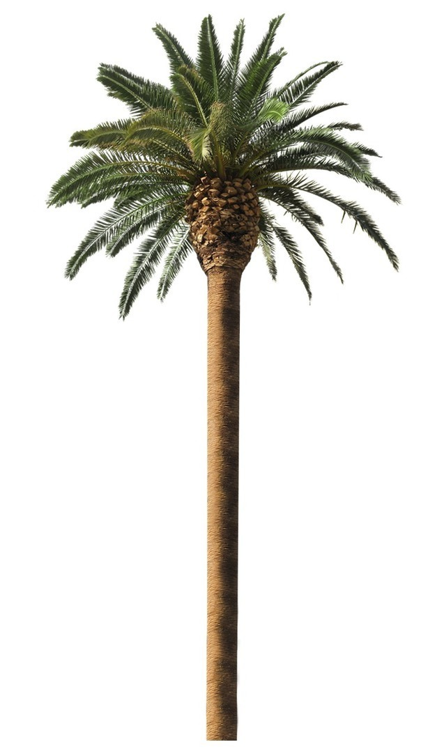 Palm trees for sale melbourne palm tree sales for Trees for sale