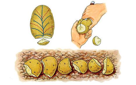 The Secret To Huge Potato Harvests | Organic Farming | Scoop.it