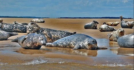 Avian Flu Diary: Emerg. Microbes & Inf.: Prevalence Of Influenza A in North Atlantic Gray Seals   Influenza   Scoop.it