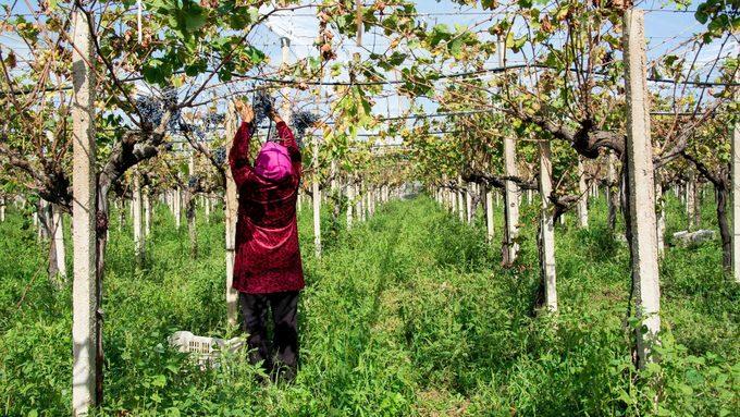 Pesticides en Tunisie – Inkyfada